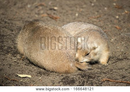 A prairie dog chewing another one's tail