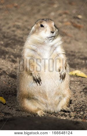 A standing prairie dog at a zoo