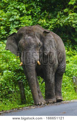 Big Asian elephant walking on the road in Khao Yai National Park Thailand