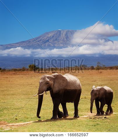 Adult African elephant with calf covered by mud against Kilimanjaro mount in clouds in background