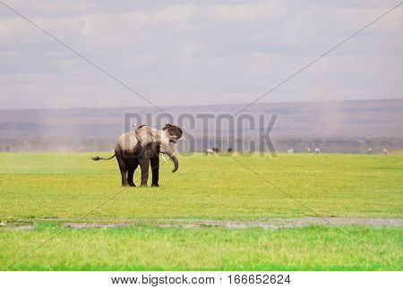 A large African elephant with flapping ears in Kenyan savannah, Maasai Mara National Reserve