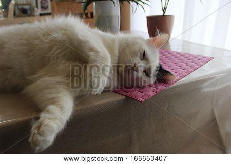 white og black cat breed Turkish Van Vankedisi or Turkish Angora