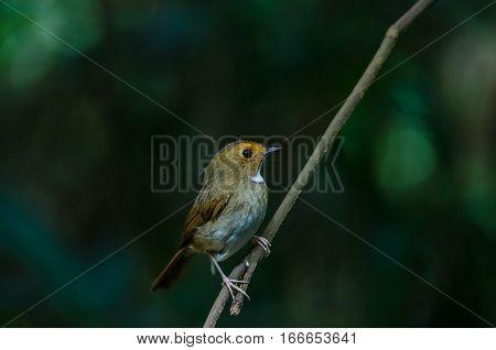 Rufous-browed Flycatcher (Ficedula solitaris) perch on branch poster