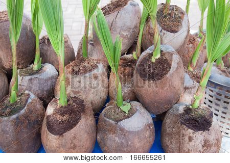 The young coconut seedling from the coconut fruit
