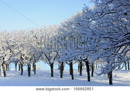 The group of the trees coverd by snow at sunny winter midday against the blue sky