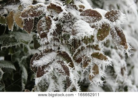 Branches of rosebush covered by snow and hoarfrost