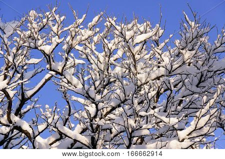 The branches of acacia covered by snow against the blue sky at sunny winter midday