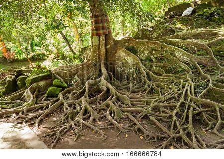 Ceiba tree in Goa Gajah Cave at Pura Goa Gajah Temple (the Elephant Cave Temple). Ubud Bali island Indonesia.