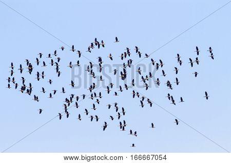 Flock of birds flying on clear blue sky background. Seasonal migration of birds.
