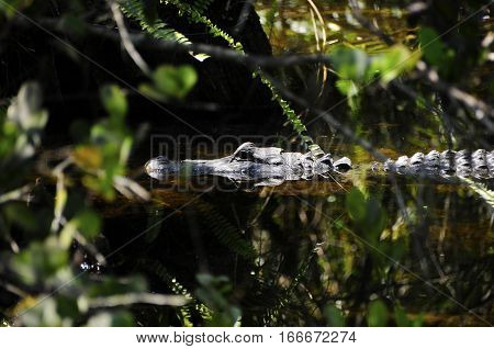 Closeup of an American Alligator floating in a swamp.
