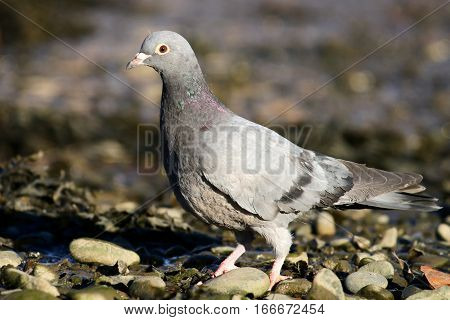 A juvenile feral pigeon on a rocky shore