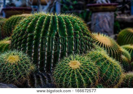prickly cactus. Cactus thorns. family of green cactus