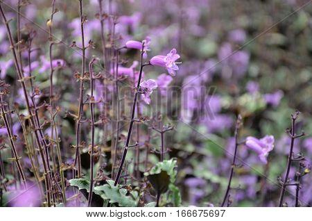 Plectranthus Mona Lavender Flowers