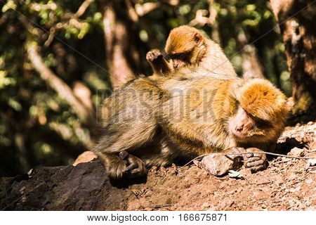 Wildlife shot of two barbary macaque monkeys sitting on a stub during the delouse in the National Park of Ifrane, Morocco.