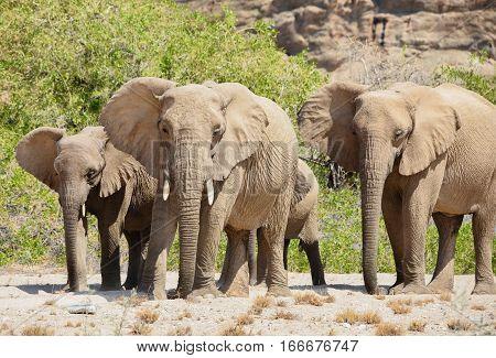 elephants in the Etosha National Park, Namibia South Africa