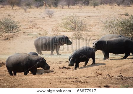 Hippopotamus in the Etosha National Park in Namibia South Africa