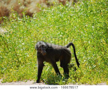 Baboon in the Etosha National Park, Namibia South Africa