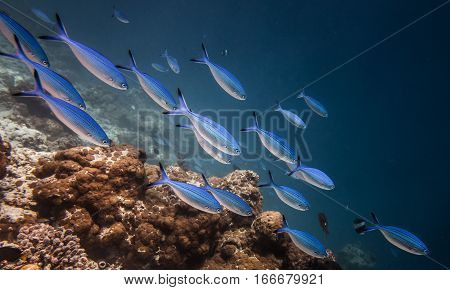 Flock of beautiful fishes in the water of the Indian Ocean
