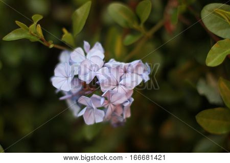 This is a lavender glower cluster in shallow focus on a plant