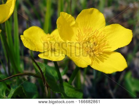 Flowers of kingcup (Caltha palustris) in the spring