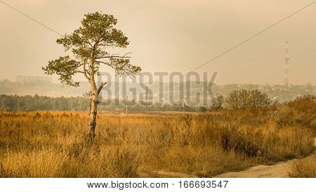 Lone Pine in the field in warm tones