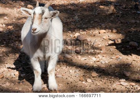 A pygmy goat stands in dappled light on rocky ground.