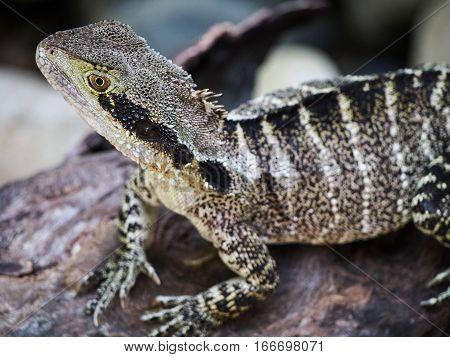 An Australian water dragon is a lizard native to Australia.