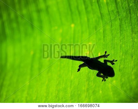 A silhouette of a gecko on the back of a tropical leaf in Hawaii.