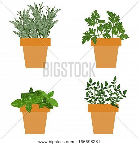 Set of vector culinary herbs in pots with fresh thyme basil rosemary and parsley. Grow The Garden