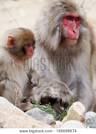 Japanese macaques also known as snow monkeys interacting with eachother in a natural setting.