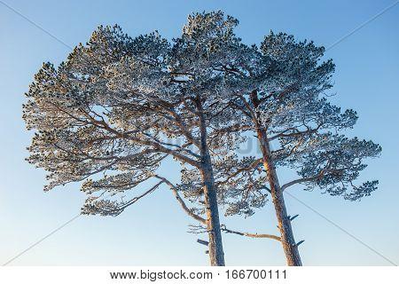 Elegant sprawling frozen pine in winter sunny frosty day.