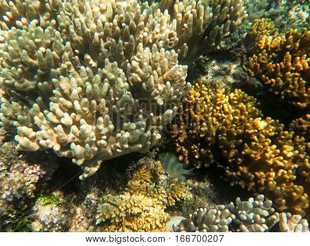 Finger coral is a very common type of coral on barrier reefs.