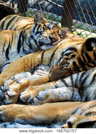 A group of captive tigers snuggle up together for a nap.