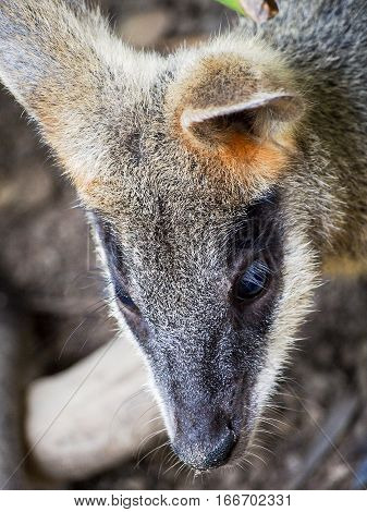 A cute young wallaby cocks its ears.
