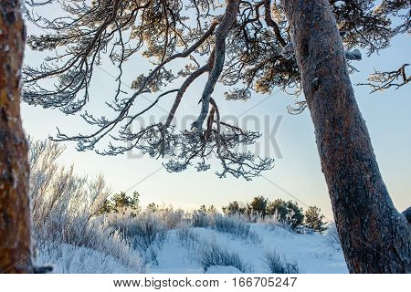 Beautiful old sprawling frozen pine branches and trunk in winter frosty day