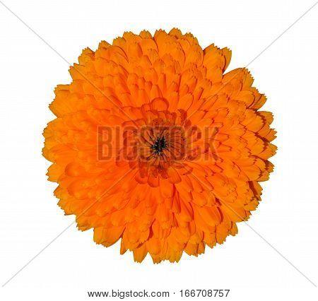 Dense orange calendula blossom isolated on a white background