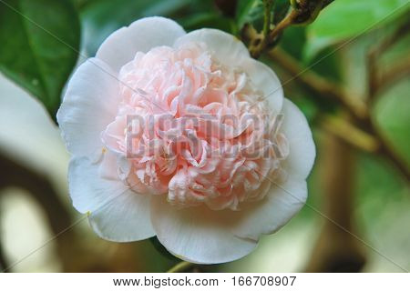 White with pink Camellia flower closeup,beautiful pink flower blooming in the garden in spring
