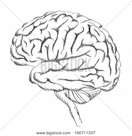 Brain anatomy. Human brain lateral view. Hand drawn engraved sketch illustration isolated on white background.