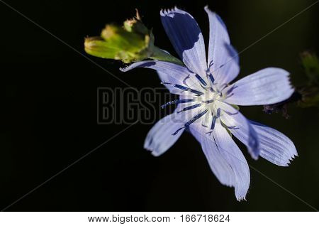 Tiny Blue Flower Proudly Displaying its Stamen in the Morning Sunshine