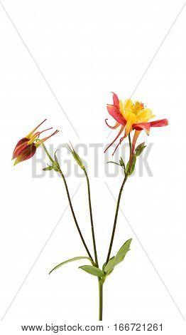 aquilegia  yellow flower isolated on white background