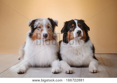 Dogs breed Australian Shepherd Aussie pet in the room studio portrait dog on a color background