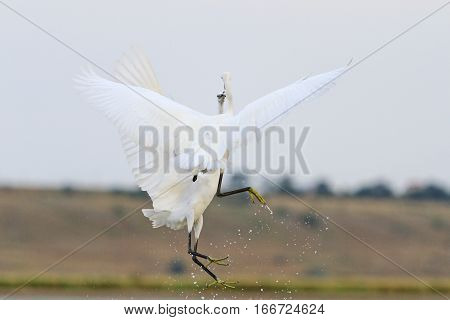 two white birds in flight fight face to facelittle egret conflict waterbirds wildlife
