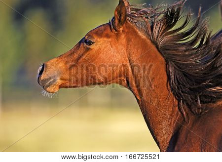 Close-up Head of galloping Bay Arabian Colt