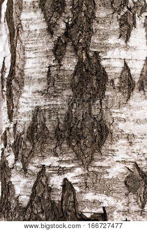 Texture of birch bark. National pride of Russia - Birch.