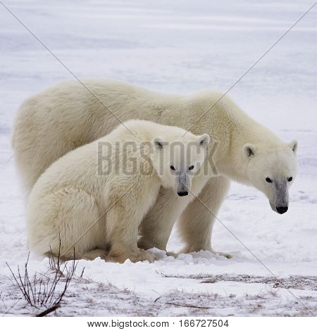 Polar bear sow and her cub standing on the frozen tundra.  Churchill, Manitoba, Canada.