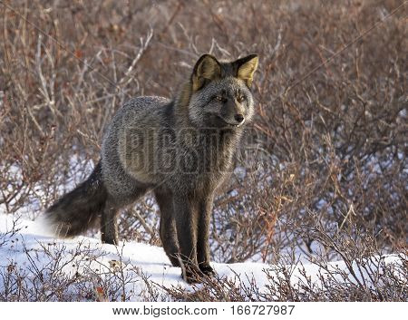 Close up image of a silver fox, in the wild.  Churchill, Manitoba, Canada.