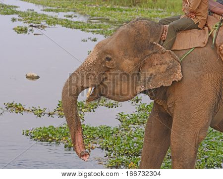 Domestic Elephant getting Water in Chitwan National Park in Nepal