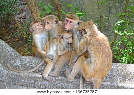 Monkey Family Macaca Primate Sri Lanka Asia