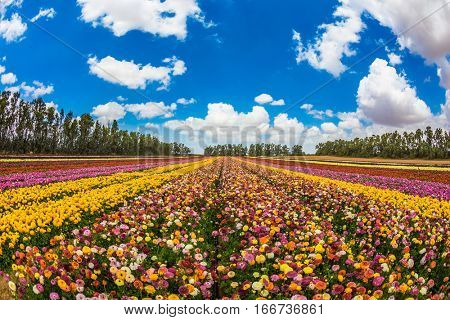 Farm field of magnificentl flowers. Garden buttercups bloom in bright colors. The concept of eco-tourism. Walk on a sunny day