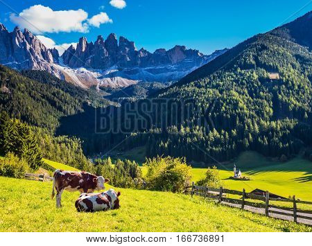Sunny in Dolomites. On the green grass hillside grazing two cow. Forested mountains surrounded by green Alpine meadows. The concept of active and eco-tourism